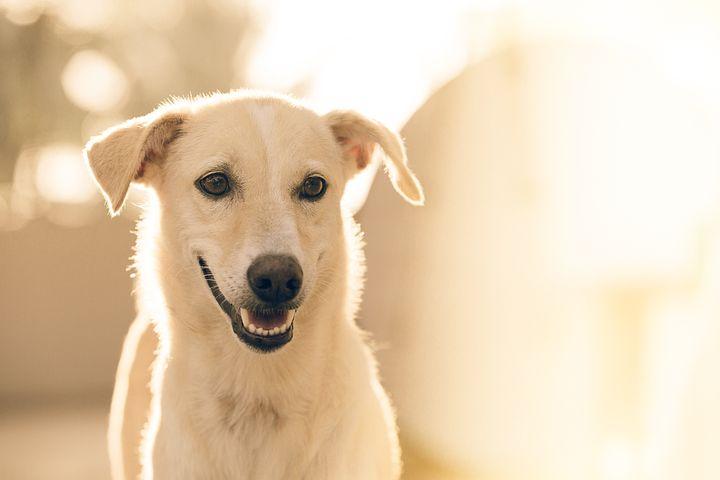 En savoir plus sur la perte de vision chez le chien